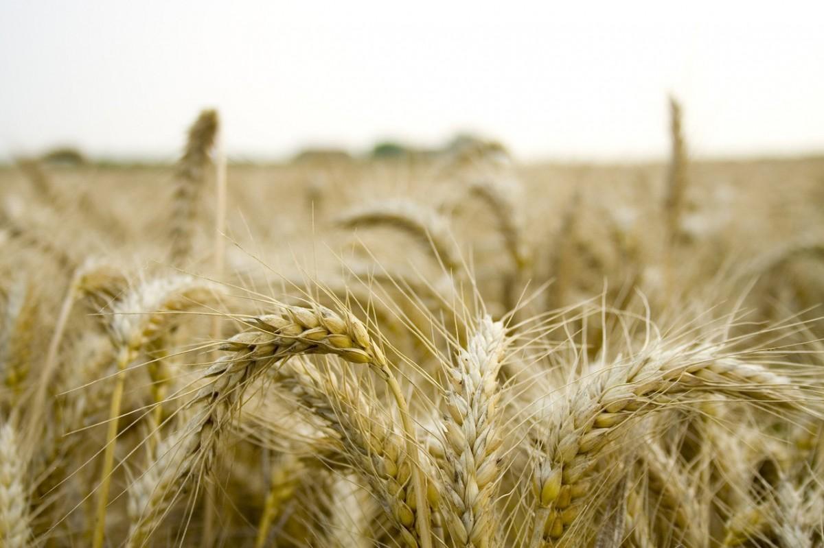 Odmiany pszenicy